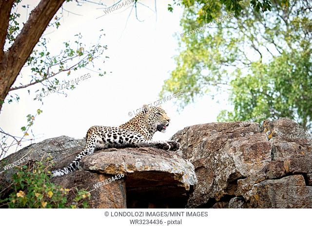 A leopard, Panthera pardus, lies on a boulders, looking away, trees and white sky in the background