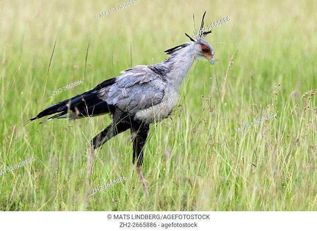 Secretary bird walking in high grass on the savanna in Masai mara, Kenya, Africa