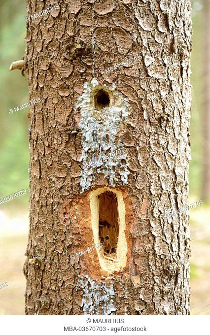 Common spruce, Picea abies, hole of woodpecker, detail, Upper Palatinate, Bavaria, Germany