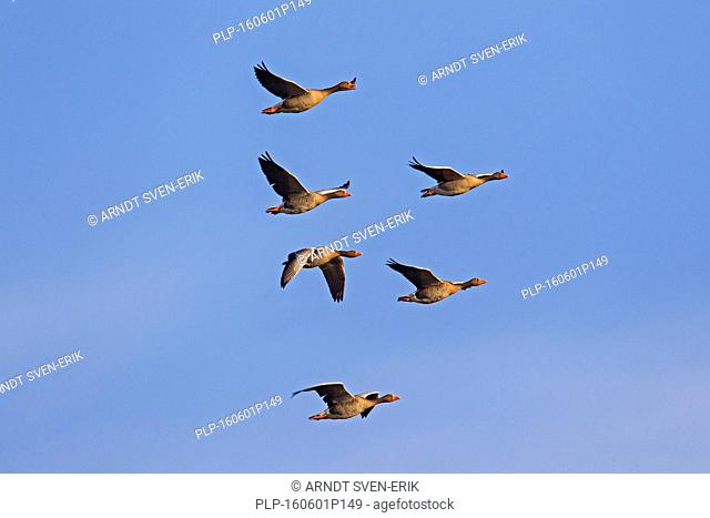 Migrating greylag goose flock / graylag geese (Anser anser) in flight against blue sky
