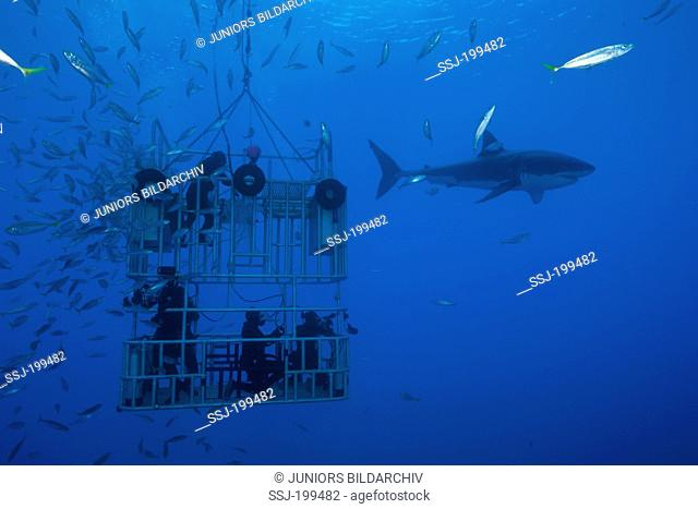 Great White Shark (Carcharodon carcharias) with divers in a cage under water. Guadalupe Island, Mexico