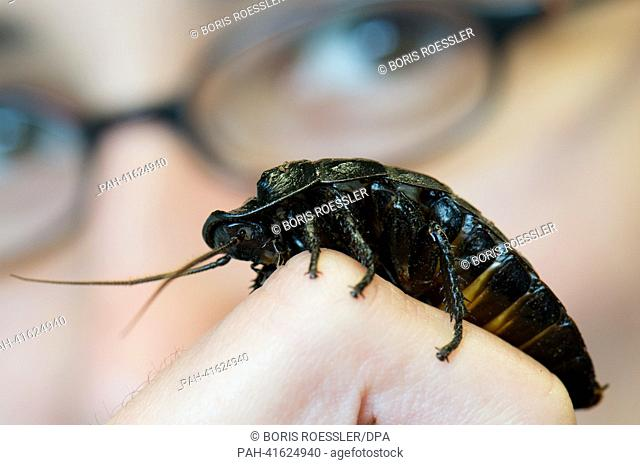 """A large Hissing Cockroach sits on the finger of researcher Tina Gasch at the research focus """"""""Insect Biotechnology"""""""" in Giessen, Germany, 25 June 2013"""