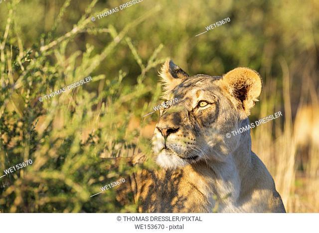 Lion (Panthera leo). Alert female. Observing her surroundings. Kalahari Desert, Kgalagadi Transfrontier Park, South Africa