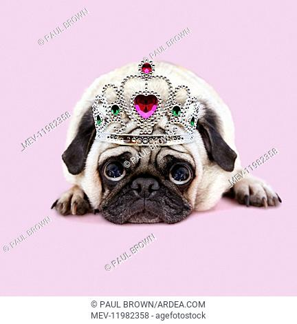 Pug Dog laying down looking up with big sad eyes, sad expression, wearing tiara / crown Digital manipulation