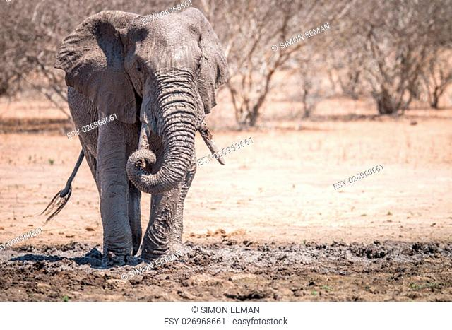 Elephant taking a mud bath in the Kruger National Park, South Africa