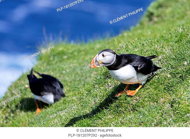 Two Atlantic puffins (Fratercula arctica) entering burrow on sea cliff top in seabird colony, Hermaness, Unst, Shetland Islands, Scotland, UK