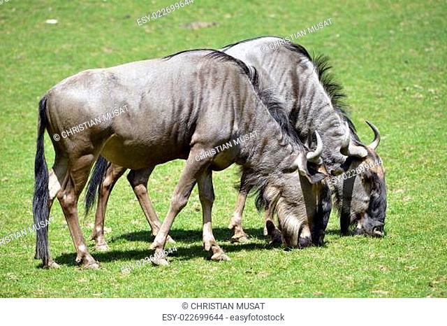 Blue wildebeest feeding