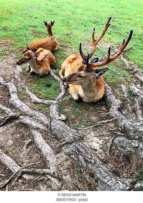Sacred deer in Nara, Japan