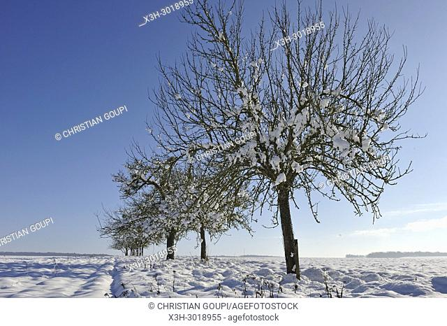 apple trees covered with snow, department of Eure-et-Loir, Centre-Val-de-Loire region, France, Europe