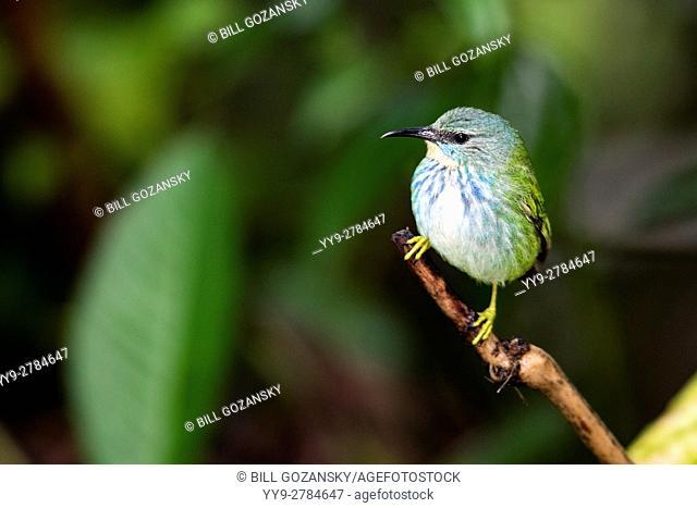 Shining Honeycreeper (Female) - Boca Tapada, San Carlos; Costa Rica