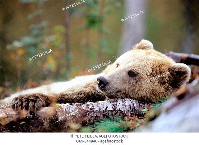 Brown Bear (Ursus arctos) in captivity. Norway