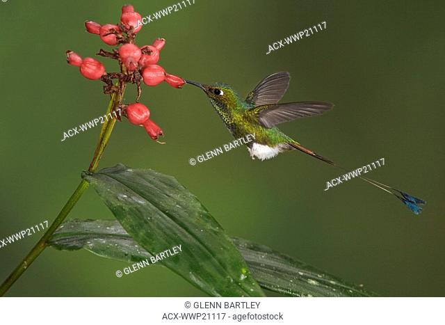 Booted Racket-tail hummingbird Ocreatus underwoodii feeding at a flower while flying in the Tandayapa Valley of Ecuador
