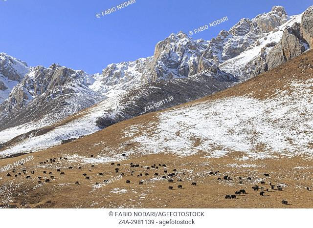 Tibetan landscape in China with mountains and yaks on backgroundin SiChuan, China