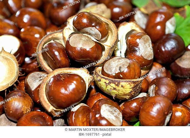 Horse Chestnuts or Conkers (Aesculus hippocastanum) with chestnut leaves, seeds and capsules