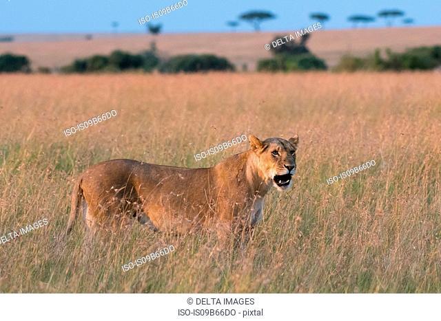 Portrait of Lioness (Panthera leo),walking in the savannah, Masai Mara, Kenya, Africa