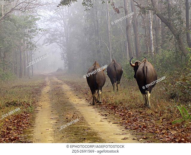 Indian Gaur, Kanha Tiger Reserve, Madhya Pradesh, India