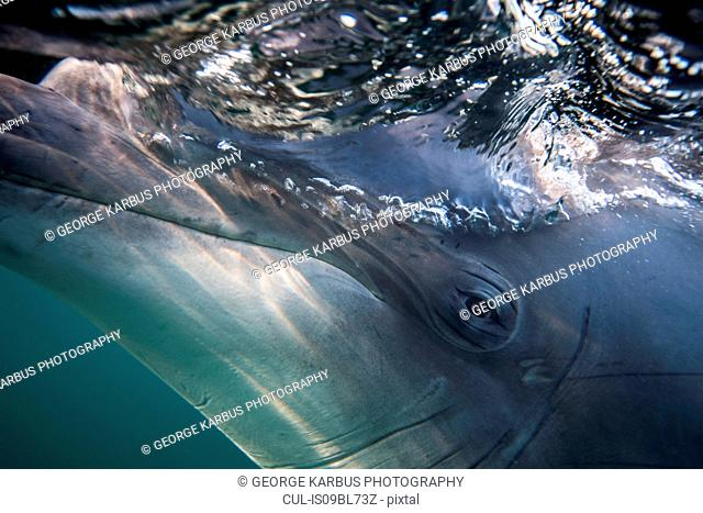 Bottlenose dolphin's eye, close-up, underwater view