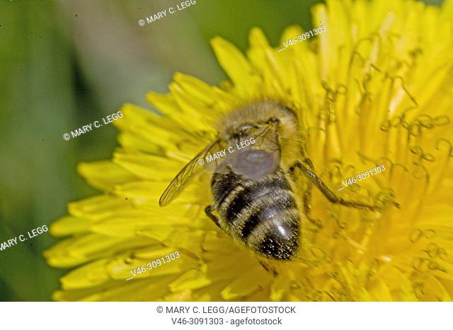Honey Bee, Apis mellifera on dandelion