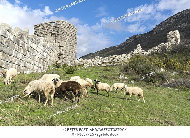 Sheep grazing by the massive ancient stone walls at ancient Messene (Ithomi), Messinia, Southern Peloponnese, Greece