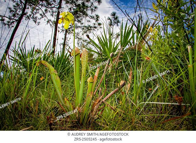 Flowering hooded pitcher plant (Sarracenia minor) in a pine flatwood forest; Florida, USA