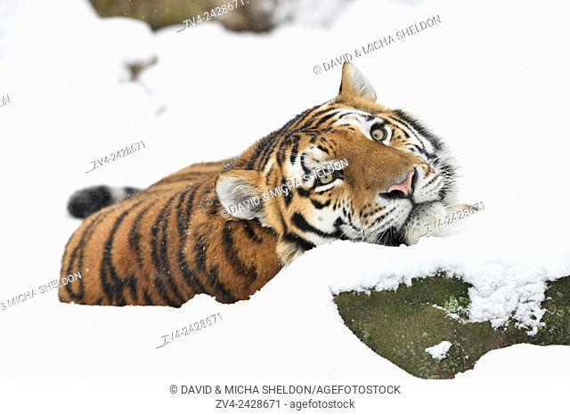 Close-up of a Siberian tiger (Panthera tigris altaica) in winter