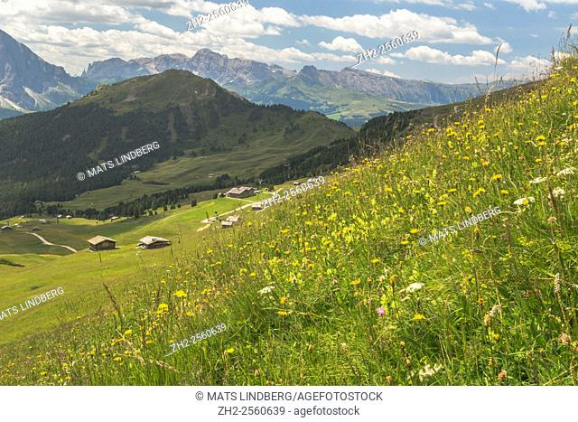 View from Col Raiser oveer the Dolomites with a meadow in the foreground with meadow salsify and Field Scabious, Selva, Val Gardena, Italy