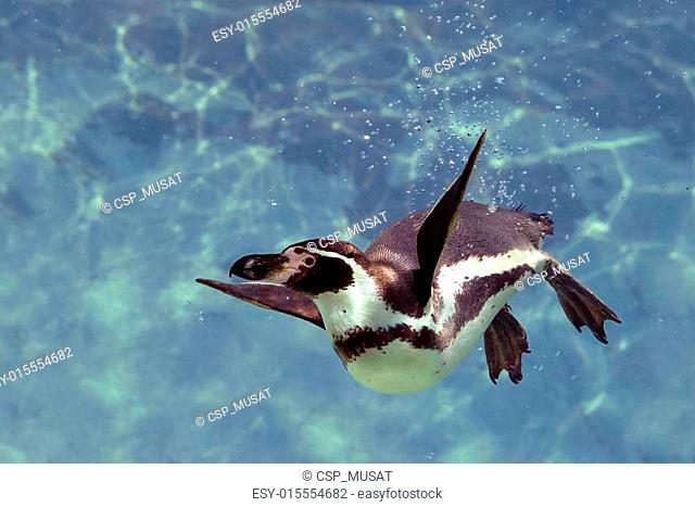 Humboldt penguin under water