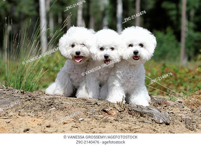 Dog Bichon Frise / three puppies sitting in a park
