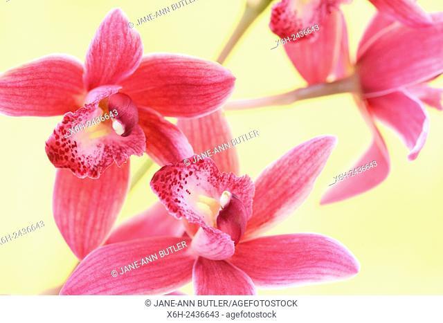 pink cymbidium orchid highly decorative flower spikes - joyful energy