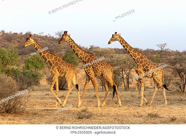 Reticulated giraffes (Giraffa camelopardalis reticulata), Samburu National Reserve, Kenya