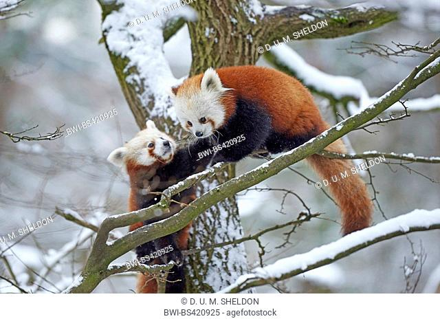 lesser panda, red panda (Ailurus fulgens), couple on a tree in winter