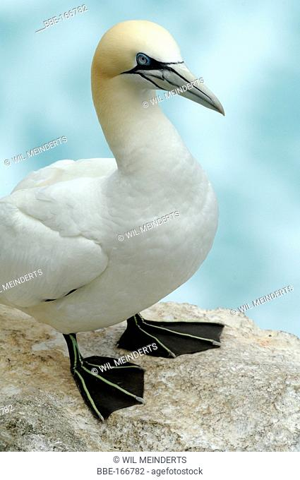 Northern Gannet in close-up