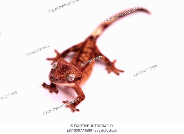 A crested gecko crawling towards the camera with a white background