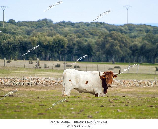 A cow of berrenda en colorado breed cows grazing in the dehesa in Salamanca (Spain). Ecological extensive livestock concept