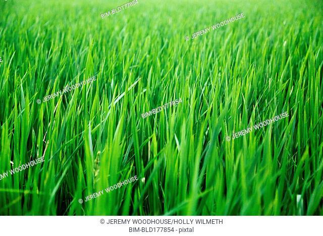 Full frame of field of green grass