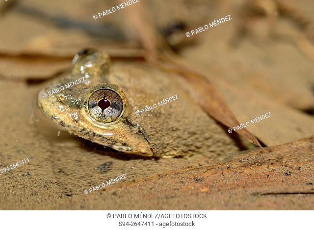 Large-headed frog (Limnonectes kuhlii) hiding on mud in a stream near Phatang, Vientiane region, Laos