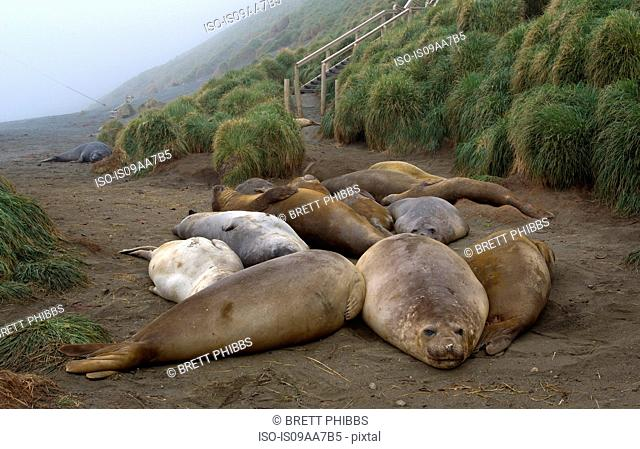 Elephant seals on the beach, north east side of Macquarie Island, Southern Ocean