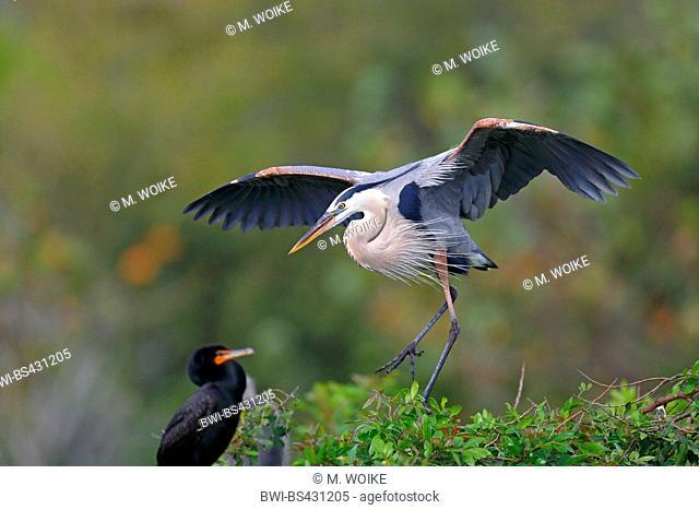 great blue heron (Ardea herodias), landing at the nest, USA, Florida, Venice