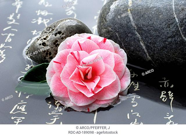 Camellia 'Prof. Filippo Parlatore' and stones, japanese characters, Camellia japonica