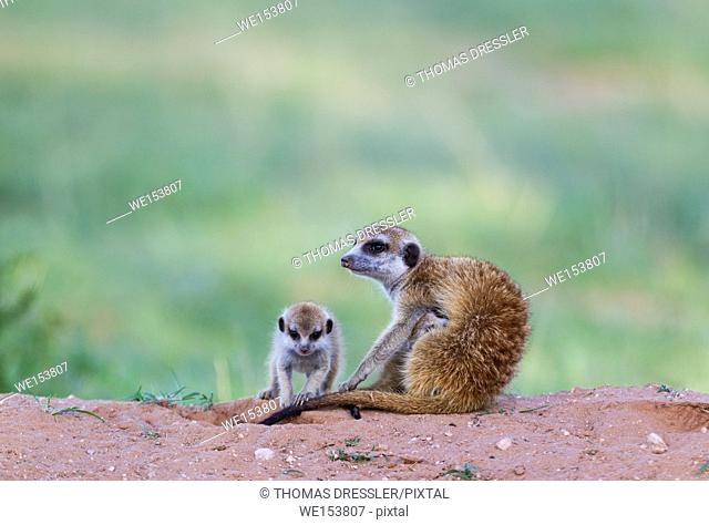 Suricate (Suricata suricatta). Also called Meerkat. Female with two young in the evening at their burrow. One young is suckling