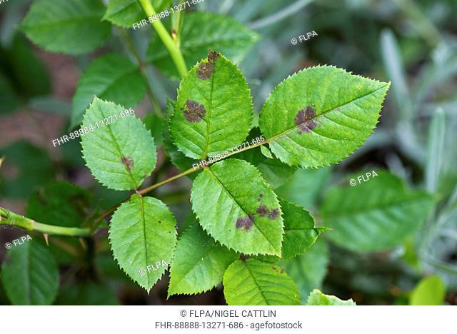 Black spot, Diplocarpon rosae, infection of leaves of an ornamental garden rose, Berkshire, July