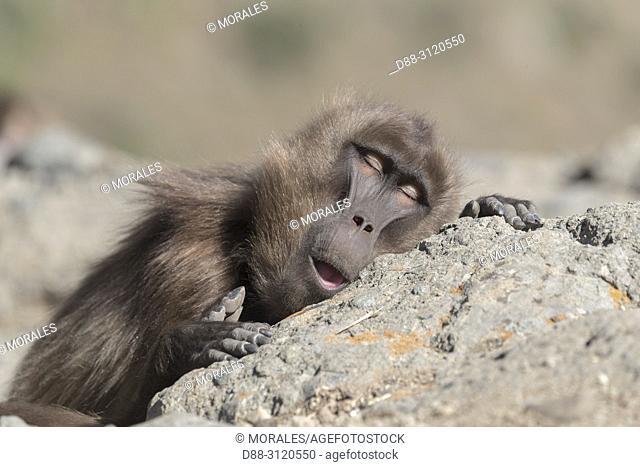 Africa, Ethiopia, Rift Valley, Debre Libanos, Gelada or Gelada baboon (Theropithecus gelada), male, resting