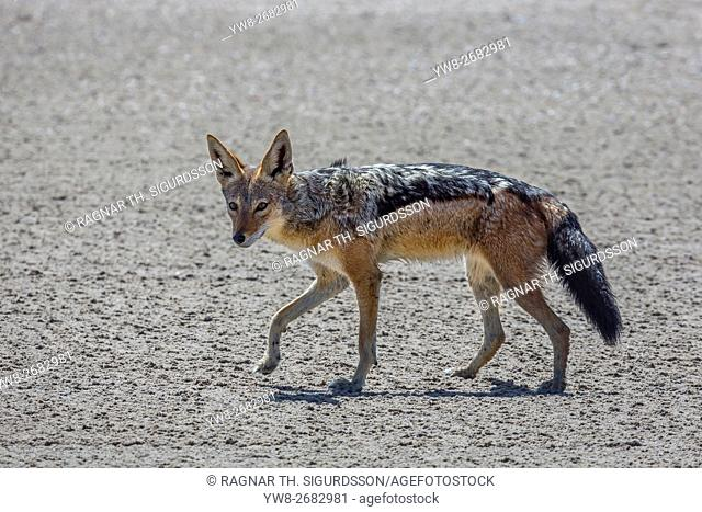 Black-backed jackal (Canis mesomelas), Etosha National Park, Namibia, Africa