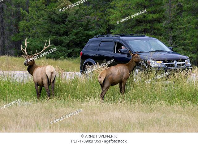 Tourist in car taking pictures of elk / wapitis (Cervus canadensis) near road in the holiday season in summer, Jasper National Park, Alberta, Canada