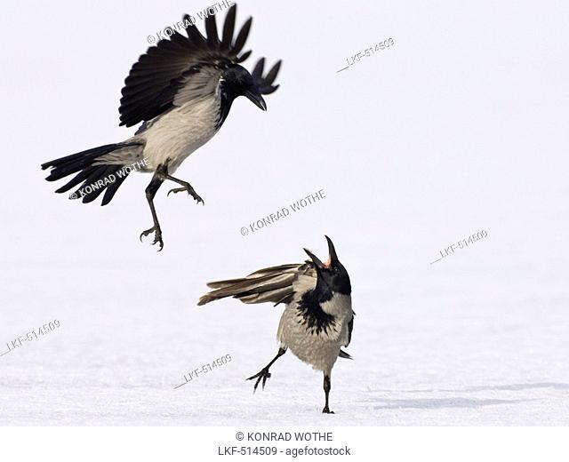 Carrion Crows fighting, Corvus corone cornix, Usedom, Germany