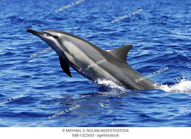 Adult Hawaiian Spinner Dolphin Stenella longirostris head-slapping in the AuAu Channel between Maui and Lanai, Hawaii, USA  Pacific Ocean