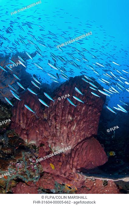 Bluestreak Fusilier Pterocaesio tile adults, shoal swimming around Barrel Sponge Xestospongia testudinaria in reef habitat, Gunung Api, Banda Sea, Indonesia
