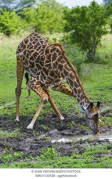 Giraffa camelopardalis, Giraffe, Tanzania, East Africa
