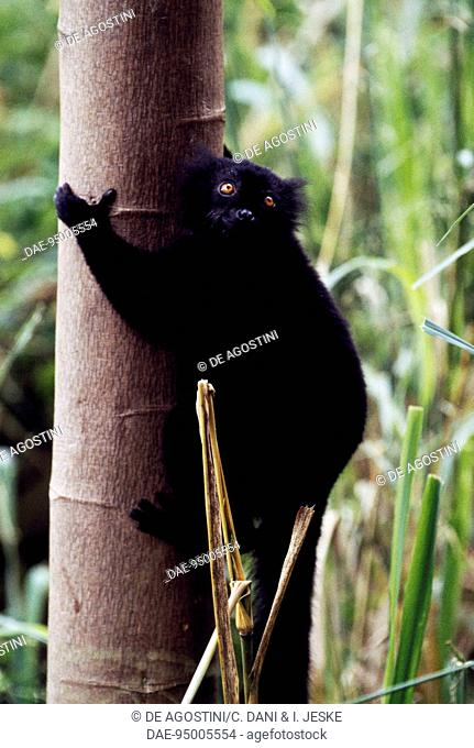 Male Black lemur (Eulemur macaco), Lemuridae, Nosy Komba, Madagascar