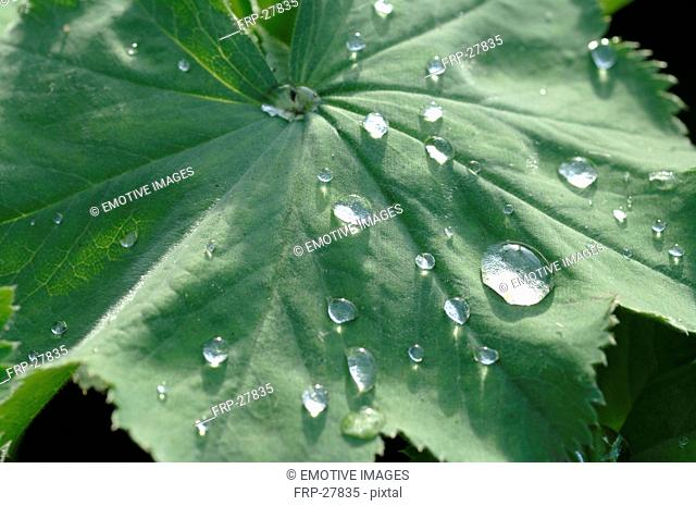 Leaf of a Ladys mantle